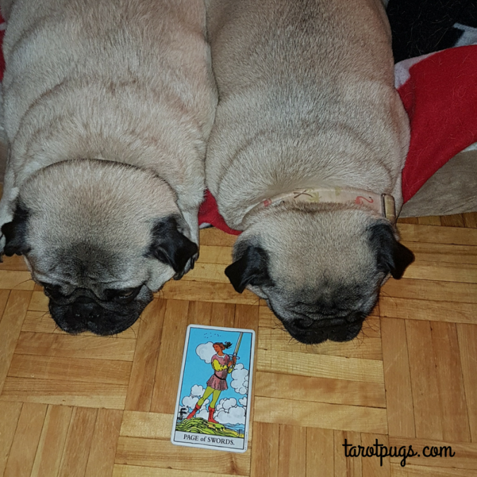 Page Swords RWS Rider Waite Smith TarotPugs Tarot Pugs Pug Weekly Reading
